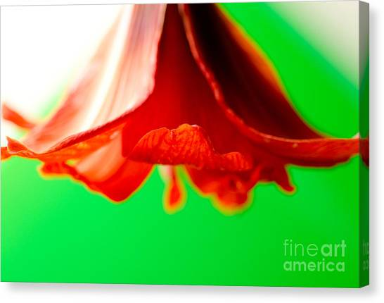 Andy Bloom Canvas Print - Amaryllis Horn Red Amaryllis Trumpet Flower Hanging On A Green Background by Andy Smy