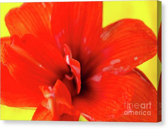 Andy Bloom Canvas Print - Amaryllis Jaune Red Amaryllis Flower On Bright Yellow Background by Andy Smy