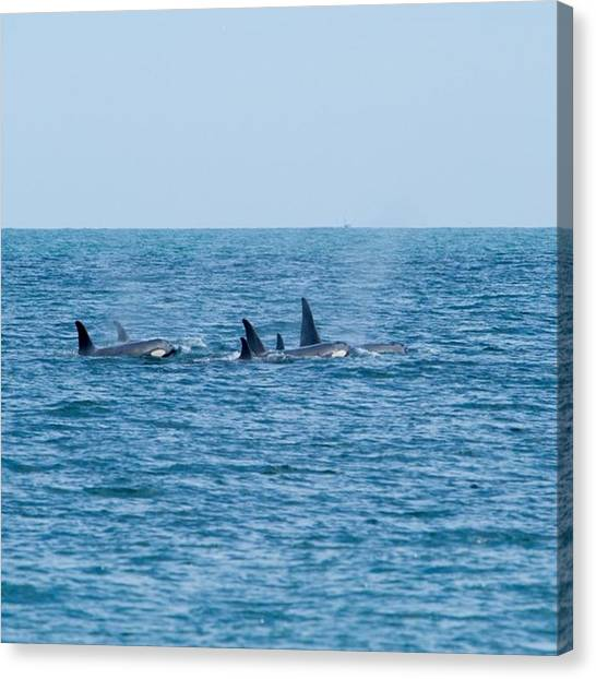 Orcas Canvas Print - Amazing Opportunity To Spend A Brief by Andy Morehouse
