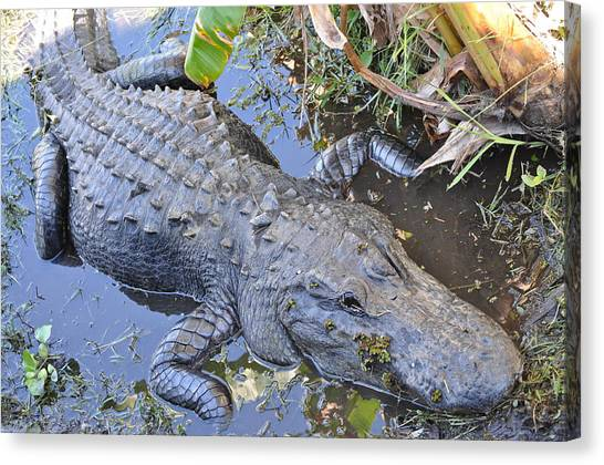 Everglades Canvas Print - American Alligator by Leigh Bandy