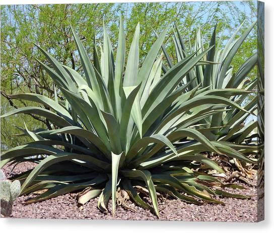 Arizona State University Asu Tempe Canvas Print - American Aloe by Kare Dey