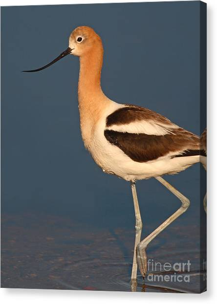 American Avocet Standing Tall Canvas Print by Max Allen