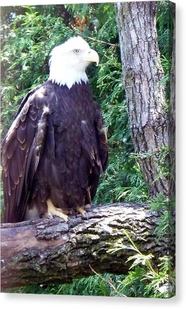 American Bald Eagle Canvas Print by Emily Kelley