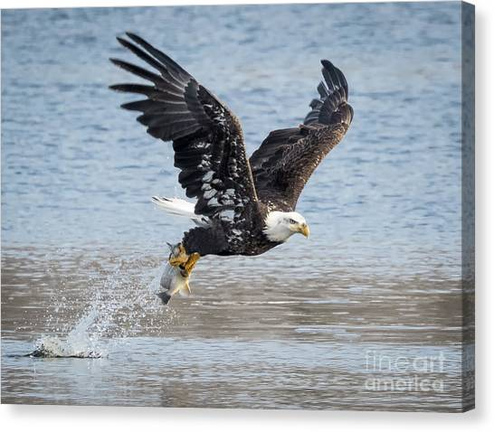 American Bald Eagle Taking Off Canvas Print