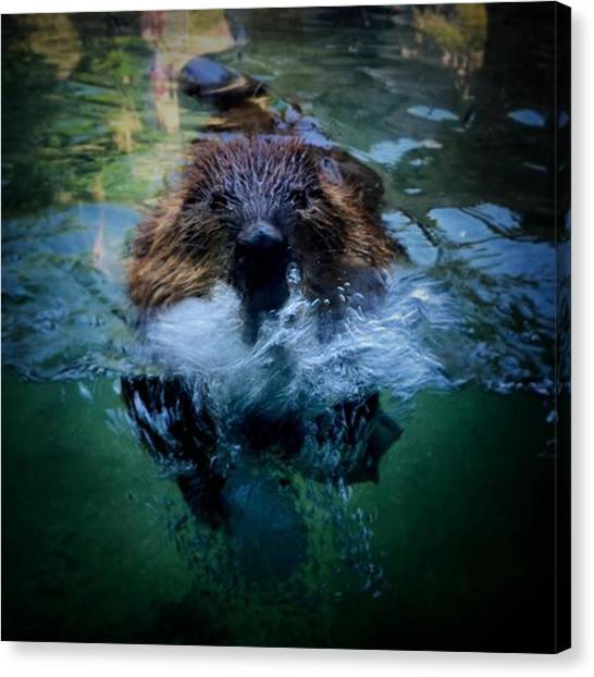 Beavers Canvas Print - #american #beaver #playing In The by Ron Meiners