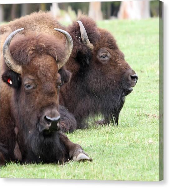 American Bison - Buffalo - 0011 Canvas Print