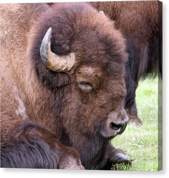 American Bison - Buffalo - 0012 Canvas Print