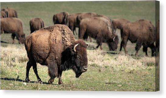 American Bison 5 Canvas Print
