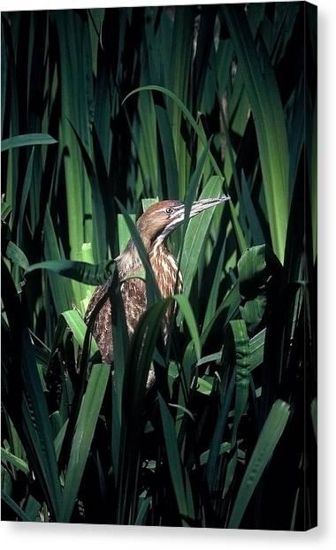 American Bittern Canvas Print by Robert Ashbaugh