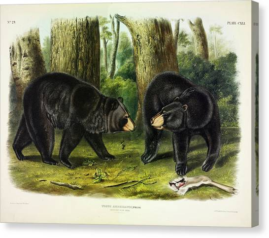 Bear Claws Canvas Print - American Black Bear by John James Audubon