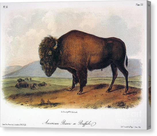 Artcom Canvas Print - American Buffalo, 1846 by John James Audubon