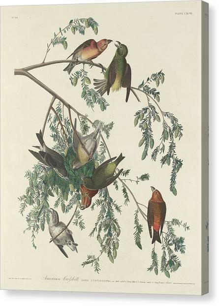Crossbills Canvas Print - American Crossbill by Dreyer Wildlife Print Collections