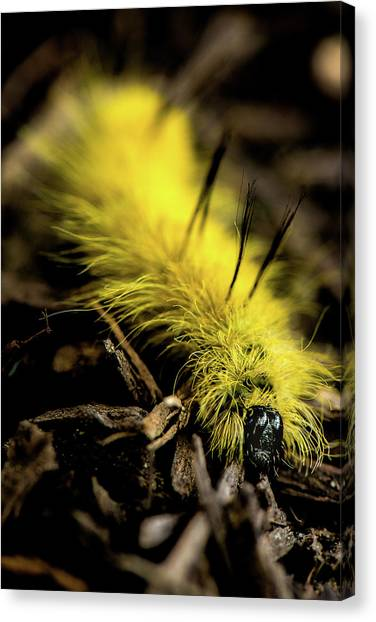 American Dagger Moth Caterpillar Canvas Print