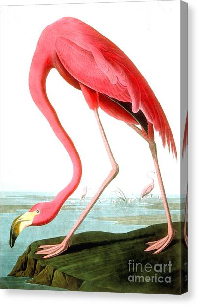 Perching Birds Canvas Print - American Flamingo by John James Audubon