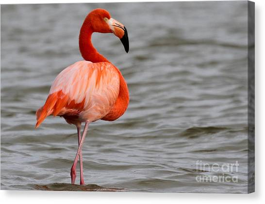 American Flamingo Canvas Print