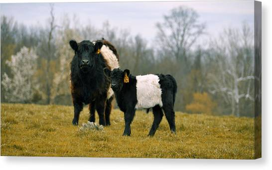 Canvas Print featuring the photograph American Galloway by JAMART Photography