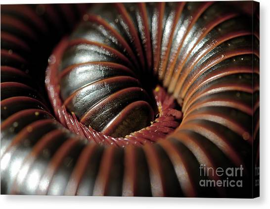 Millipedes Canvas Print - American Giant Millipede by Michael Eingle