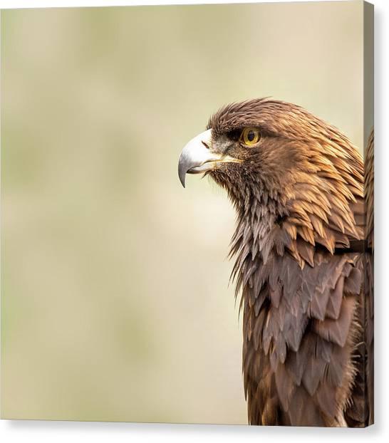 Golden Eagle Canvas Print - American Golden Eagle by Susan Schmitz