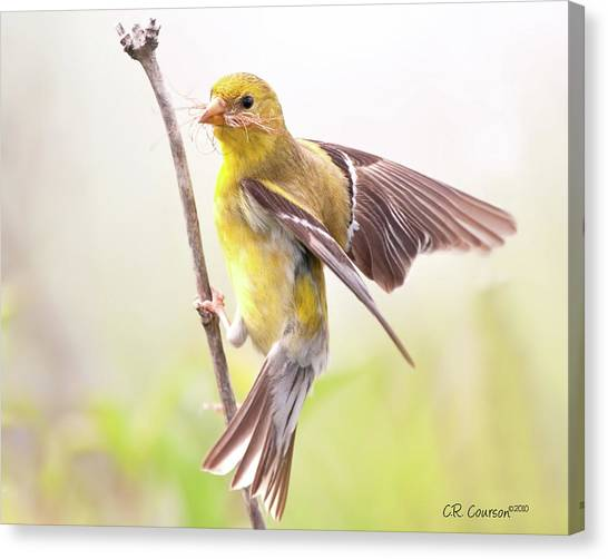 Crossbills Canvas Print - American Goldfinch  by CR  Courson