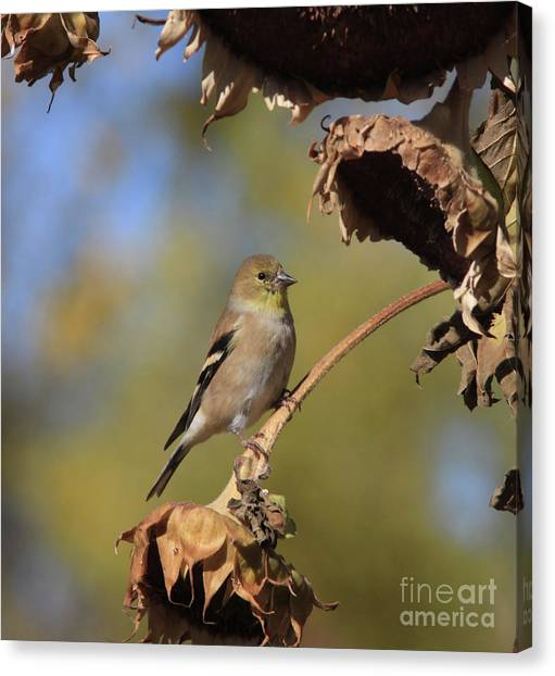 Canvas Print - American Goldfinch by Gary Wing