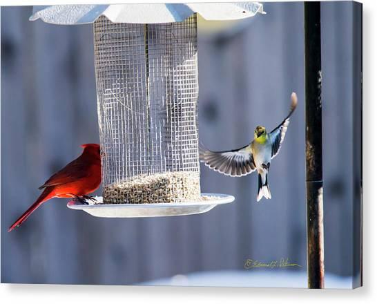 American Goldfinch Inbound Canvas Print