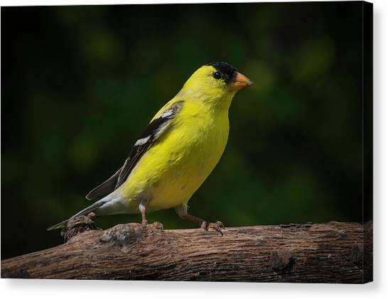 American Goldfinch Male Canvas Print