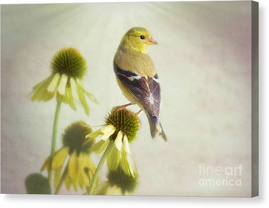 American Goldfinch On Coneflower Canvas Print