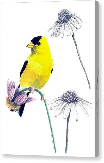 American Goldfinch On Coneflowers Canvas Print