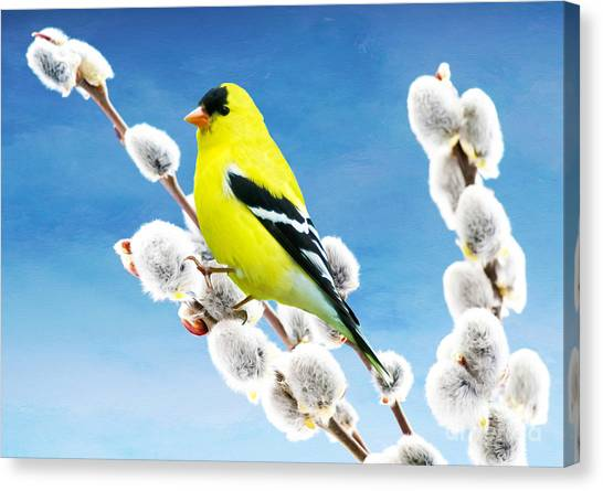 Finches Canvas Print - American Goldfinch Perched On Pussy Willow by Laura D Young