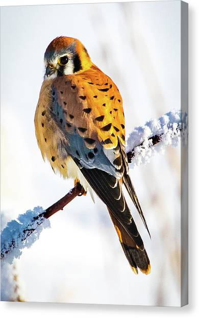American Kestrel Canvas Print