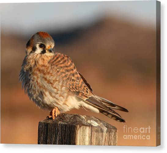 American Kestrel Giving Hunting Stare Canvas Print by Max Allen