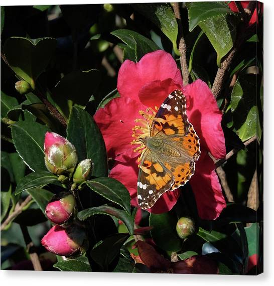 American Painted Lady On Camelia Canvas Print