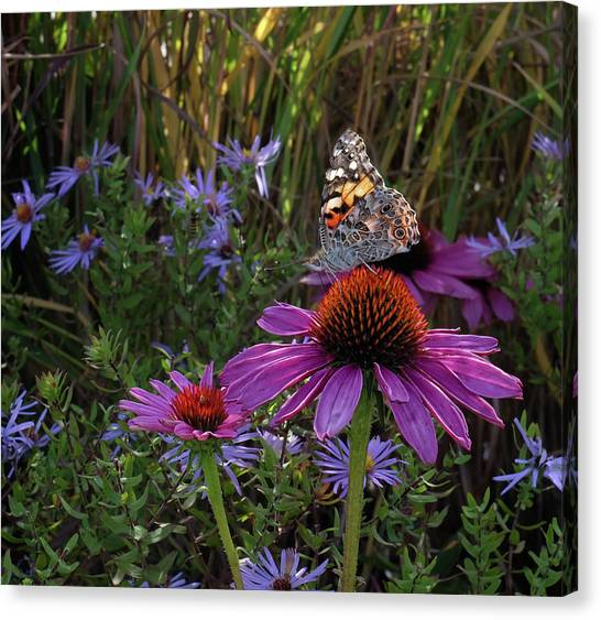 American Painted Lady On Cone Flower Canvas Print