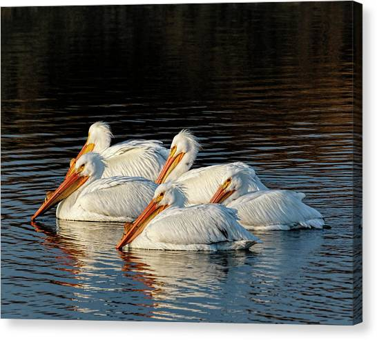 Canvas Print featuring the photograph American Pelicans - 03 by Rob Graham