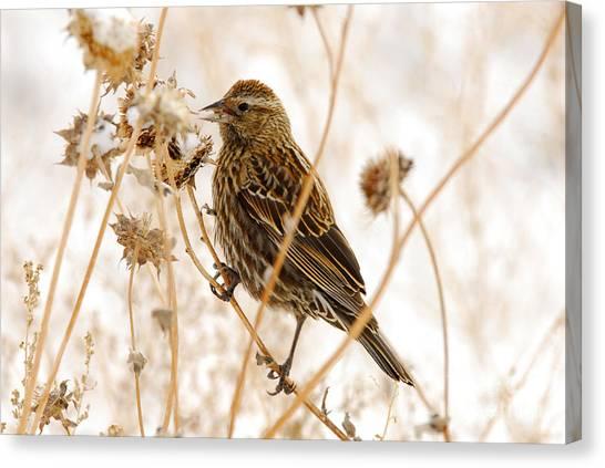 American Sparrow Canvas Print by Dennis Hammer