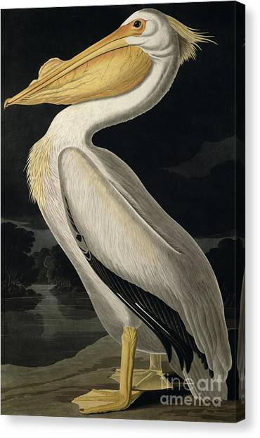 Pelicans Canvas Print - American White Pelican by John James Audubon