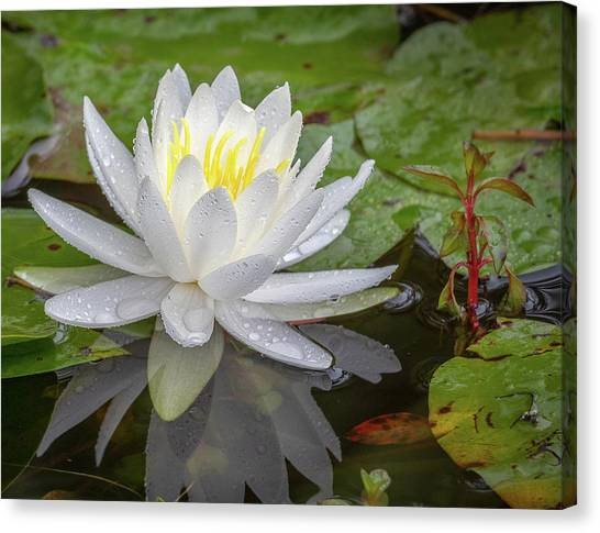 American White Water Lily Canvas Print