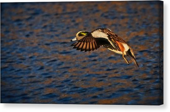 American Wigeon In Aerial Navigation Canvas Print