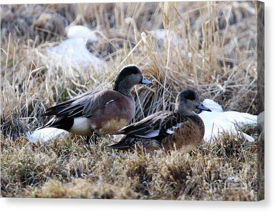 American Wigeon Mated Pair Canvas Print