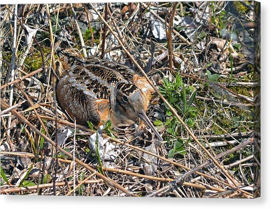 Woodcock Canvas Print - American Woodcock Incubating Her Chicks by Asbed Iskedjian