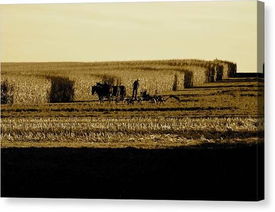 Amish Cornfield In Shadows Canvas Print