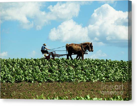 Amish Farmer With Horses In Tobacco Field Canvas Print