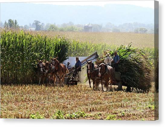Amish Men Harvesting Corn Canvas Print