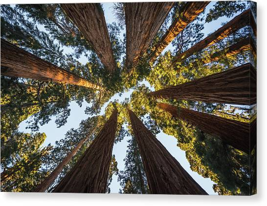 Amongst The Giant Sequoias Canvas Print