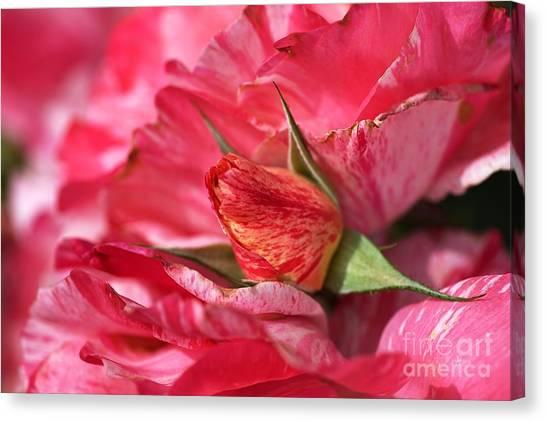 Amongst The Rose Petals Canvas Print