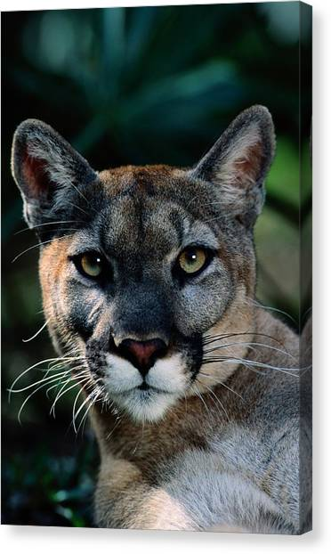 Florida Panthers Canvas Print - An Alleged Florida Panther. Owner Frank by Michael Nichols
