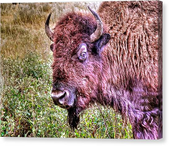 An Astonished Bison Canvas Print