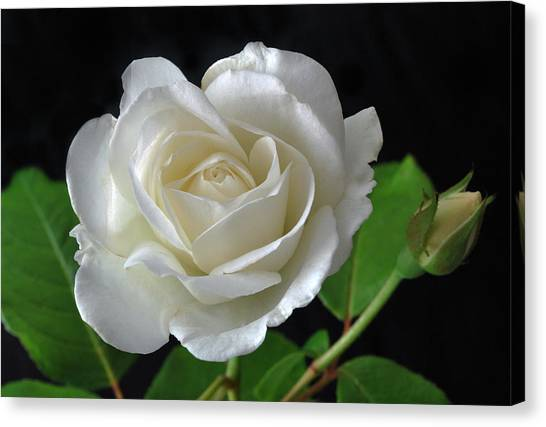 An English Rose Canvas Print
