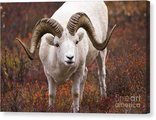 An Exceptional Ram Canvas Print by Tim Grams