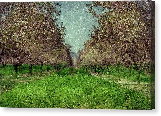 An Orchard In Blossom In The Eila Valley Canvas Print